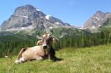 Formaggio Piemontese Montagna, Grasso Alpe Ossolano Alpeggio, Formaggio Varzo Ossola