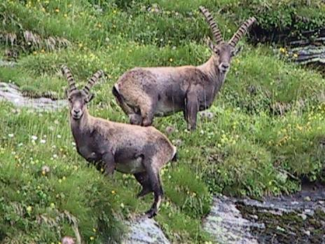 Fauna di montagna animali alpini animali di montagna for Lepre immagini da stampare