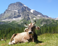 Formaggio Toma Ossolano Nostrano Tipico Ossola Azienda Agricola Montagna